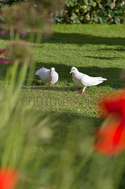 Fantail pigeons viewed through oriental poppies