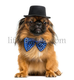 Pekingese sitting, with a bow tie and top hat, isolated on white