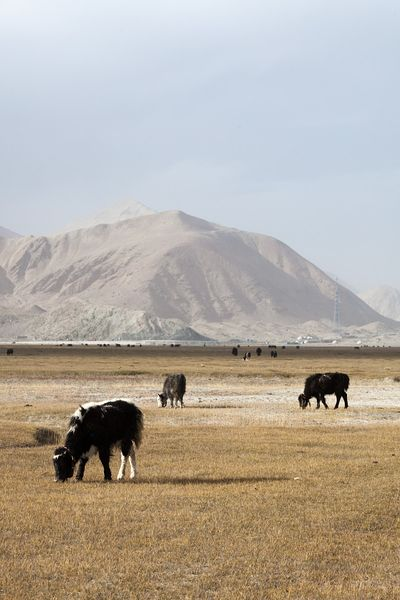 Landscape with cattle near Karakul lake