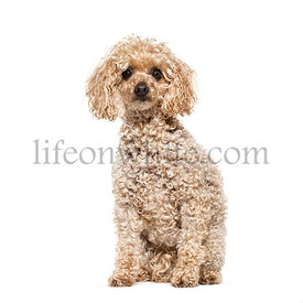Sitting Poodle, isolated on white