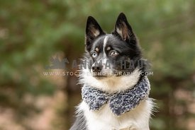 A pomsky dog wearing a fashion collar