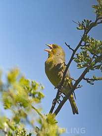 European Greenfinch Chloris chloris male in song in spring Norfolk