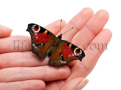 European Peacock butterfly, Inachis io, on a hand in front of white background