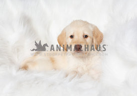 Yellow labradoodle puppy lying in white blanket