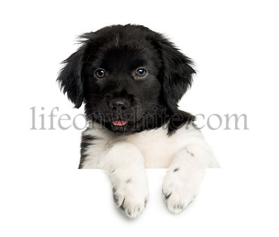 Close-up of a Stabyhoun puppy, leaning on a white board, looking at the camera, isolated on white