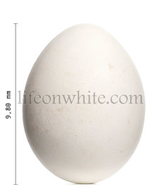Griffon Vulture egg, Gyps fulvus, 9.8 cm against white background