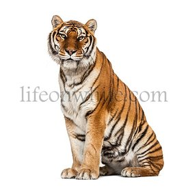 Tiger sitting proudly, isolated on white