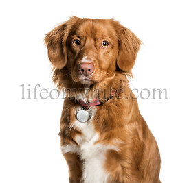 Nova Scotia Duck Tolling Retriever against white background