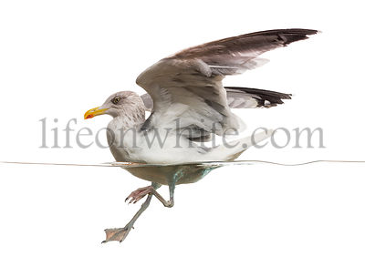 Side view of an European Herring Gull landing on the water, Larus argentatus, isolated on white