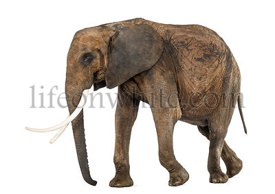 Side view of an African elephant, isolated on white