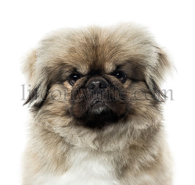 Close-up of a Pekingese, 3 years old , isolated on white