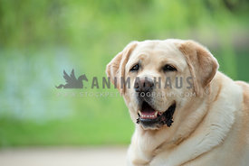 close up head shot of adult yellow lab laying in grass