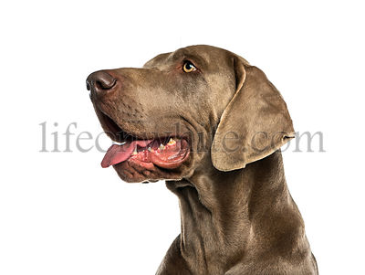 Dogue de Weimar (2 years old) in front of a white background
