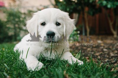 A close up of a golden retriever puppy with grass in his mouth