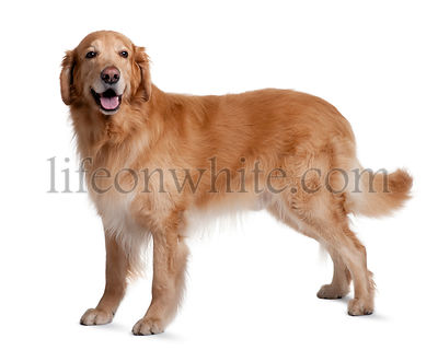 Hovawart dog, 7 years old, standing in front of white background