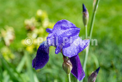 Droplets of rain on the petals of a Blue Flag Iris in an English cottage garden in Springtime.