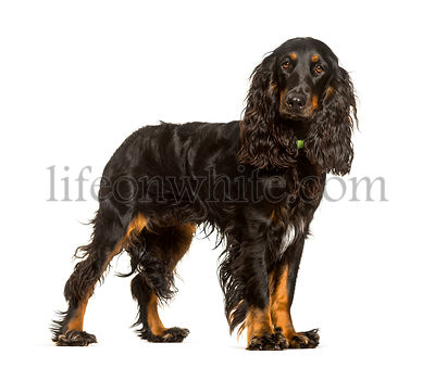 English Cocker Spaniel dog standing against white background