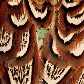 Close up of Male American Common Pheasant, Phasianus colchicus, feathers