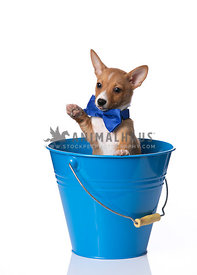 Podengo Puppy wearing blue bowtie in blue bucket with paw up