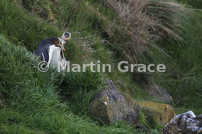Two Yellow-Eyed Penguins (Megadyptes antipodes) pass on the grassy slope from the colony to the sea, Otago Peninsula, Dunedin...