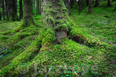 Tree trunk with roots covered with moss growing in lush Scottish woodland.