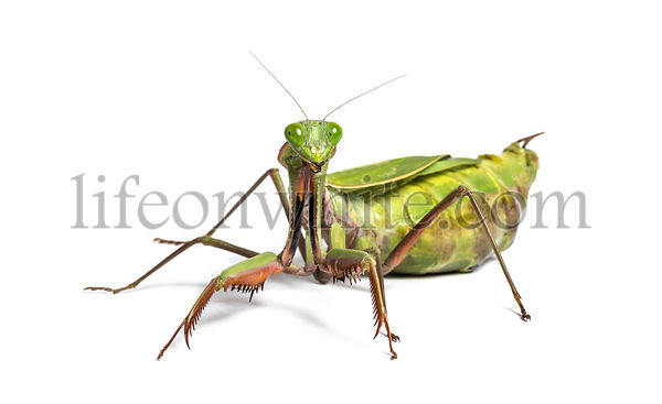 Old and Sick praying mantis, Hierodula majuscula, in front of white background