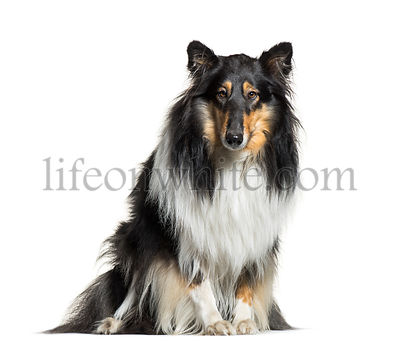 Rough Collie, 3 years old, sitting in front of white background