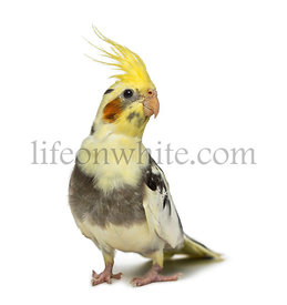 cockatiel, Nymphicus hollandicus, in front of a white background