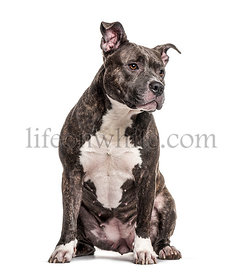 Sitting American Bully, isolated on white