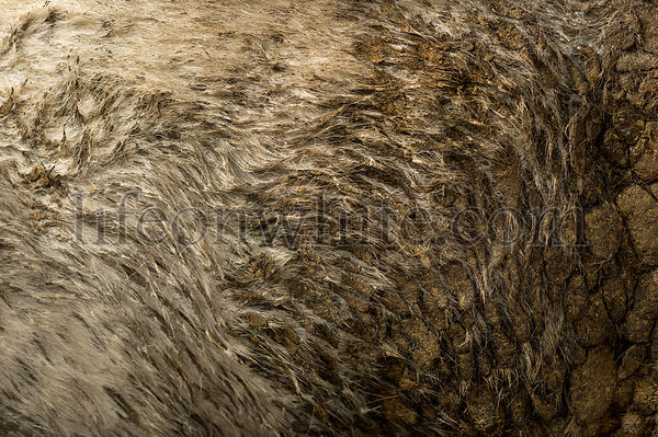 Close-up of Belgian blue cow\'s dirty hair
