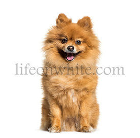 Pomeranian, 4 years old, sitting in front of white background