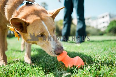 A large dog sniffing a food toy outside on the grass