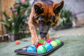 German Shepherd using paw to move ball in puzzle