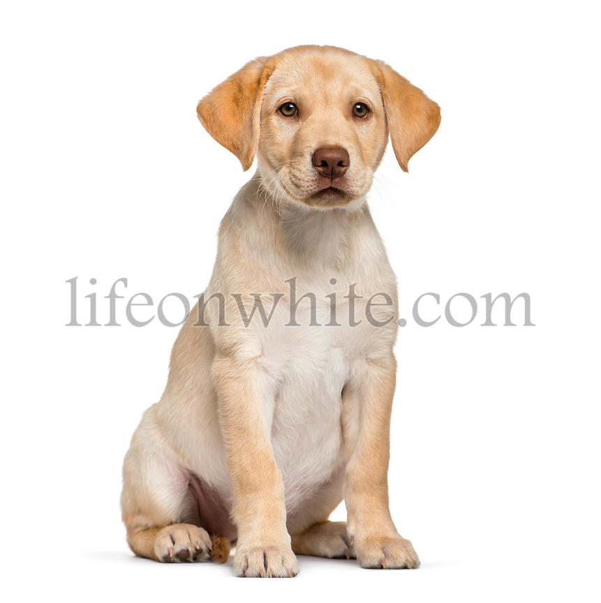 Young Labrador Retriever puppy, 2 months old, sitting in front of white background