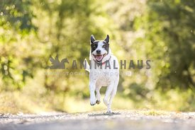 Black and white dog running