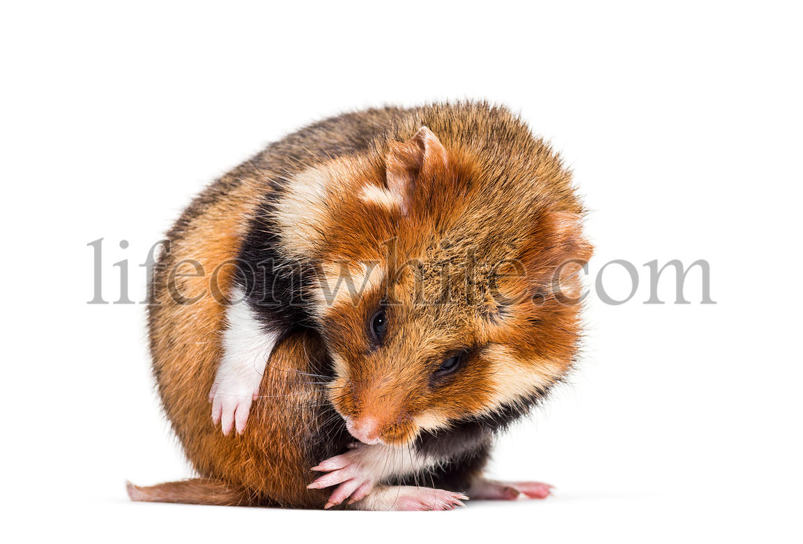 European hamster, Cricetus cricetus, grooming in front of white background