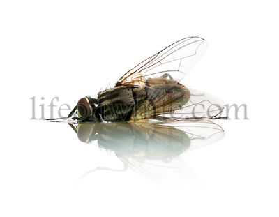 Rear view of a Common housefly lying, dead, isolated on white