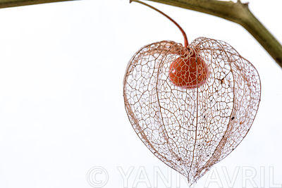 Drying Chinese lantern flower seed casing on a white background
