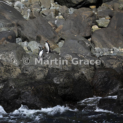 Fiordland Crested Penguins (Eudyptes pachyrhynchus) on rocks, Milford Sound, South Island, New Zealand