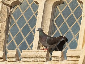 Feral Pigeon on Cromer Church, Cromer, Norfolk
