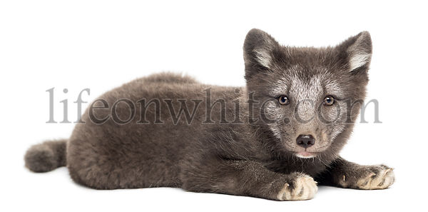 Arctic fox cub, Vulpes lagopus lying down, looking at the camera, 2 months old, isolated on white