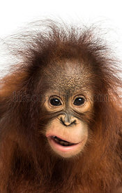 Close-up of a young Bornean orangutan making a face, looking at the camera, Pongo pygmaeus, 18 months old, isolated on white