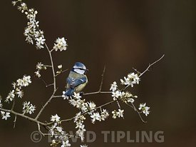 Blue Tit, Cyanistes caeruleus in Blackthorn blossom, Norfolk spring