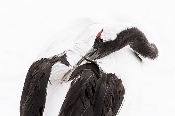 Red-Crowned Crane III