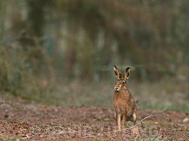 Brown Hare Lepus europaeus in woodland Norfolk