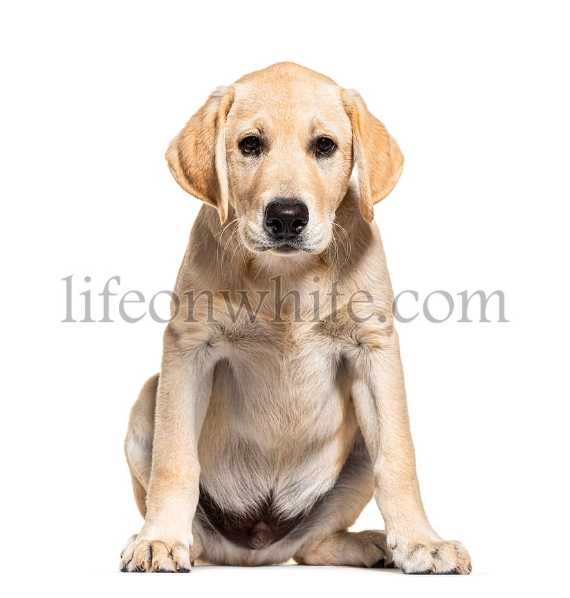 Puppy cream Labrador facing at the camera, isolated on white