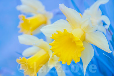 Daffodils nature abstract.