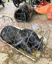 Pigs caged alive on the ground on an asian market, Bac Ha