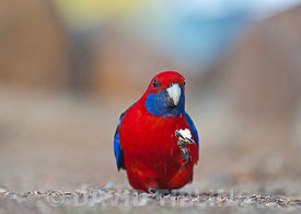Crimson Rosella Platycercus elegans at O'Reilly's Lamington NP Queensland Australia