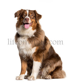 Australian Shepherd sitting in front of white background